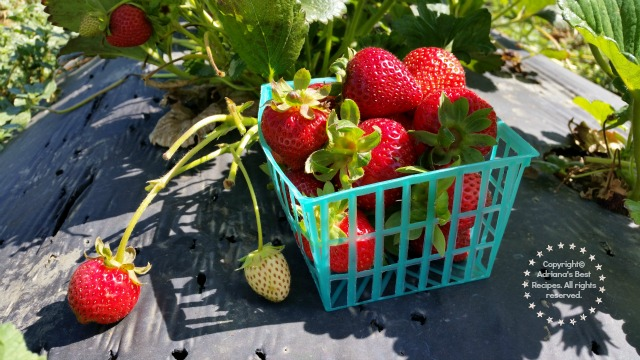 Fresh strawberries from T&Y Strawberry Patch in Yolo County California