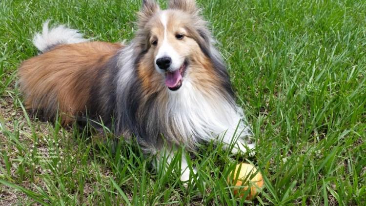 Bella our Sheltie dog enjoying the Garden