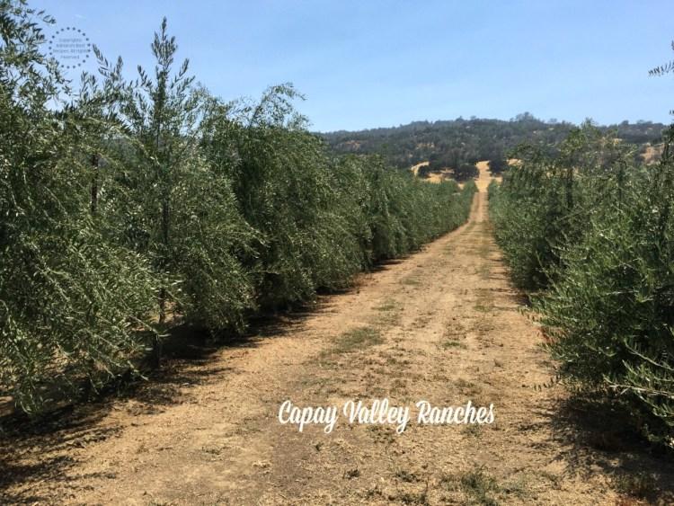 Capay Valley Ranches y sus Olivos