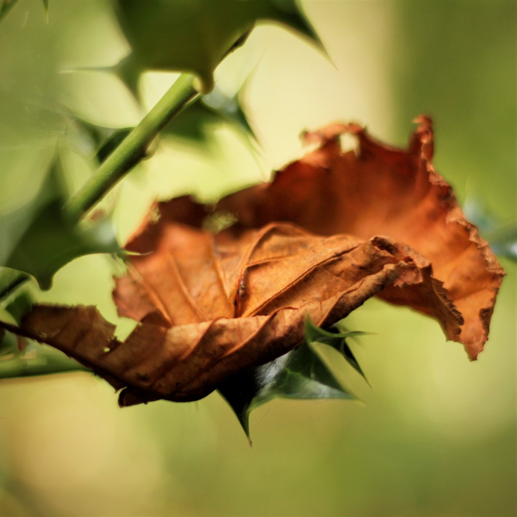 Autumn Leaf in soft light