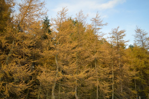 Golden forest in St Andrews.