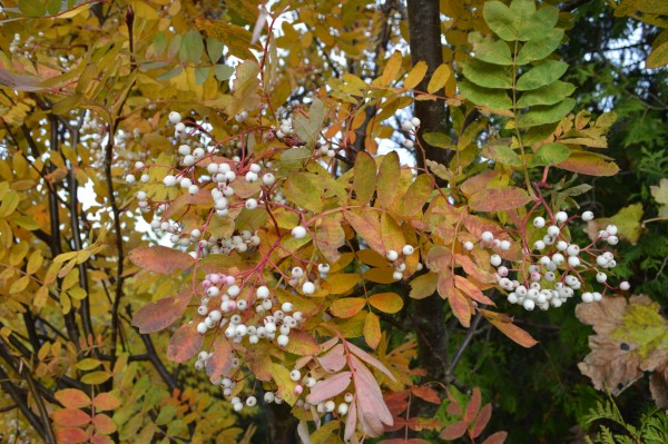 White berries and autumn leaves in St Andrews.