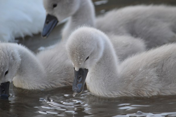 A brand new cygnet feeding in St Andrews Harbour