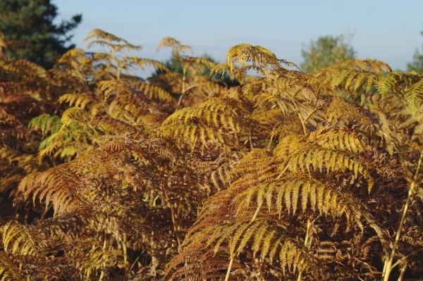 Golden ferns under blue skies.
