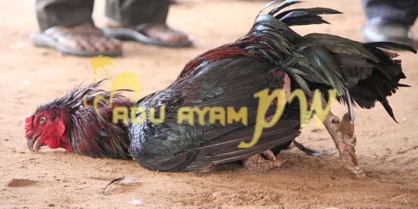 3 Cara Mengatur Napas Ayam Laga Bangkok dalam Bertarung