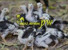 Cara Merawat Dan Melatih Anakan Ayam Menjadi Ayam Aduan Berkualitas