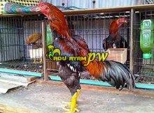 Tips Untuk Mencegah Wabah Penyakit Pada Sabung Ayam