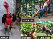 Jenis Ayam Aduan Berkualiatas Yang Dapat Di Kawin Silangkan