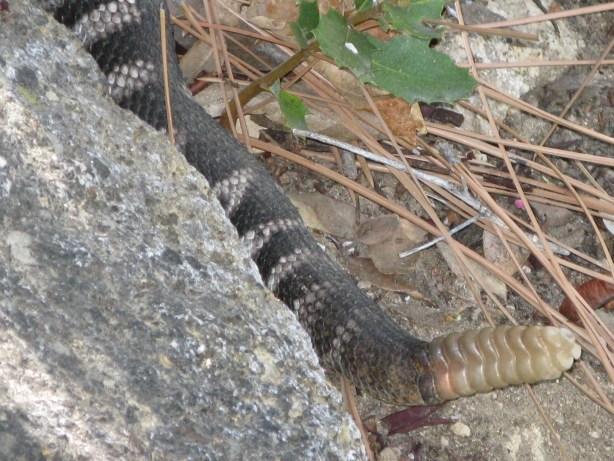 8 year old Diamondback Rattle Snake