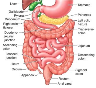 Image result for small intestines