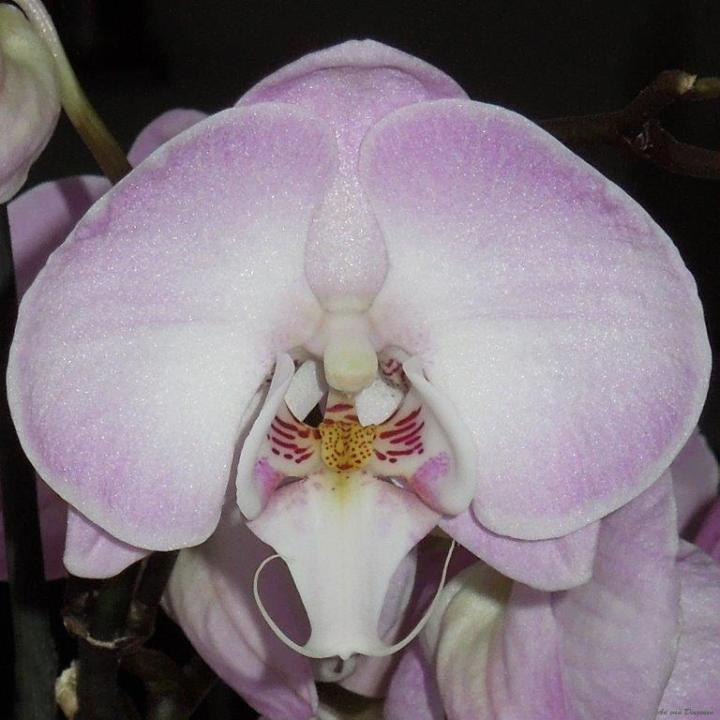 Orchid 2004