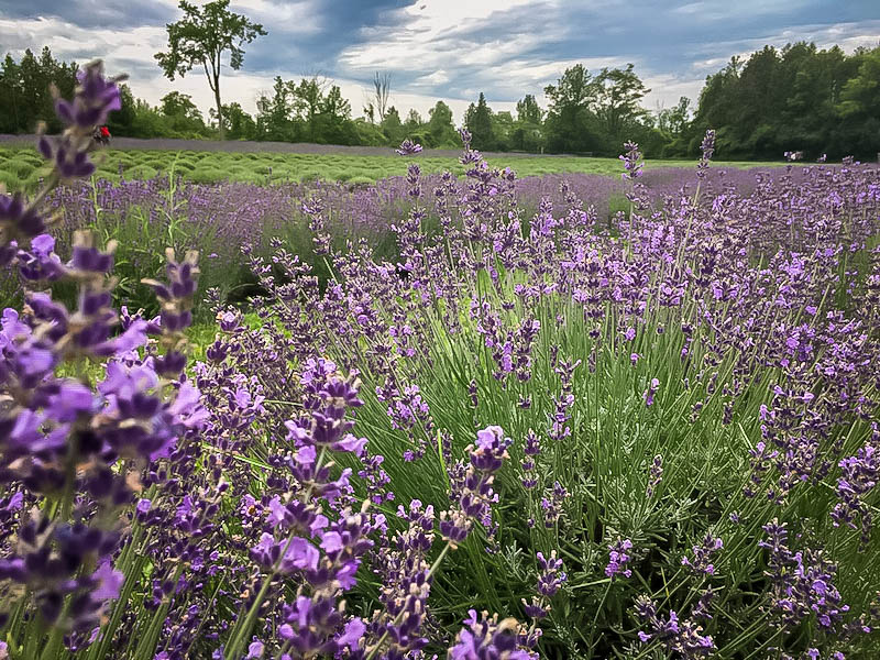 Terre Bleu Lavender Farm 7