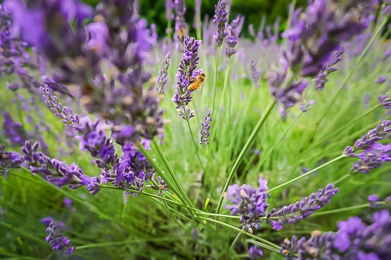 Terre Bleu Lavender Farm Bees