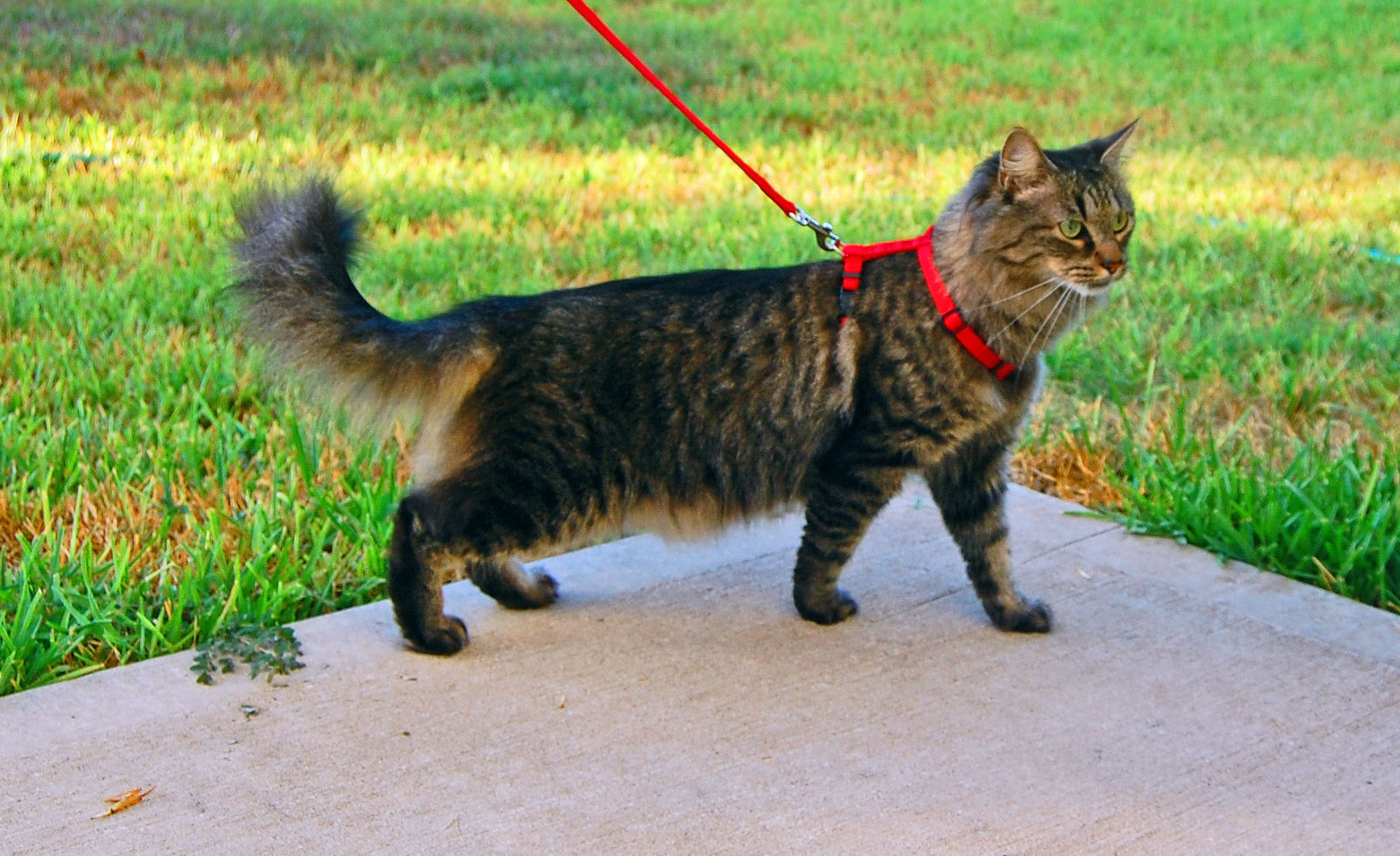 Image result for cat on leash