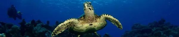 Scuba dive in Rarotonga with turtle