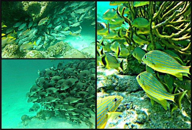 How to swim with sharks Caye Caulker Belize bluestriped grunt fish