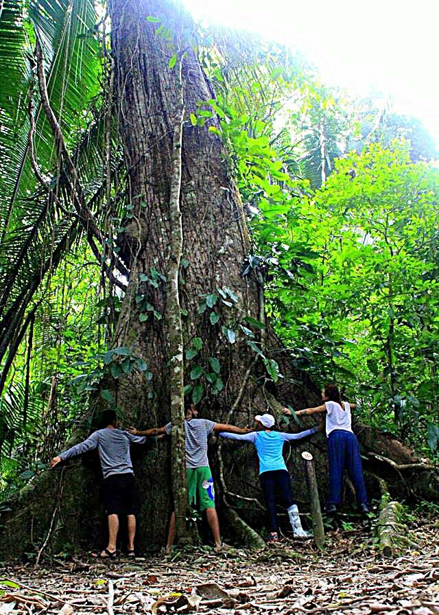 Belize Jungle Wide Tree Cockscomb Basin Wildlife Sanctuary Jaguar Reserve