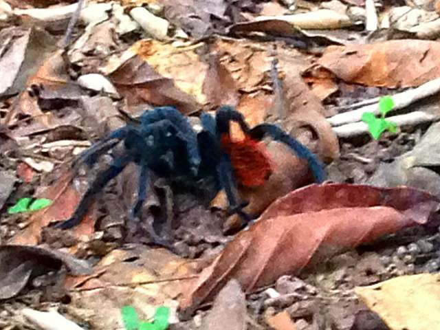 Belize Jungle tarantulas Cockscomb Basin Wildlife Sanctuary Jaguar Reserve