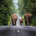 Wild elephants walking in Khao Yai National Park