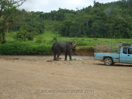 Surat-Thani-Elephants