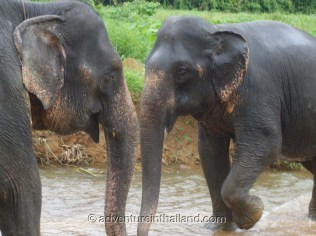 Surat-Thani-Elephants6