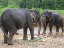 Surat-Thani-Elephants7