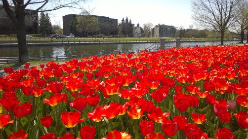 Tulips along the Rideau Canal.