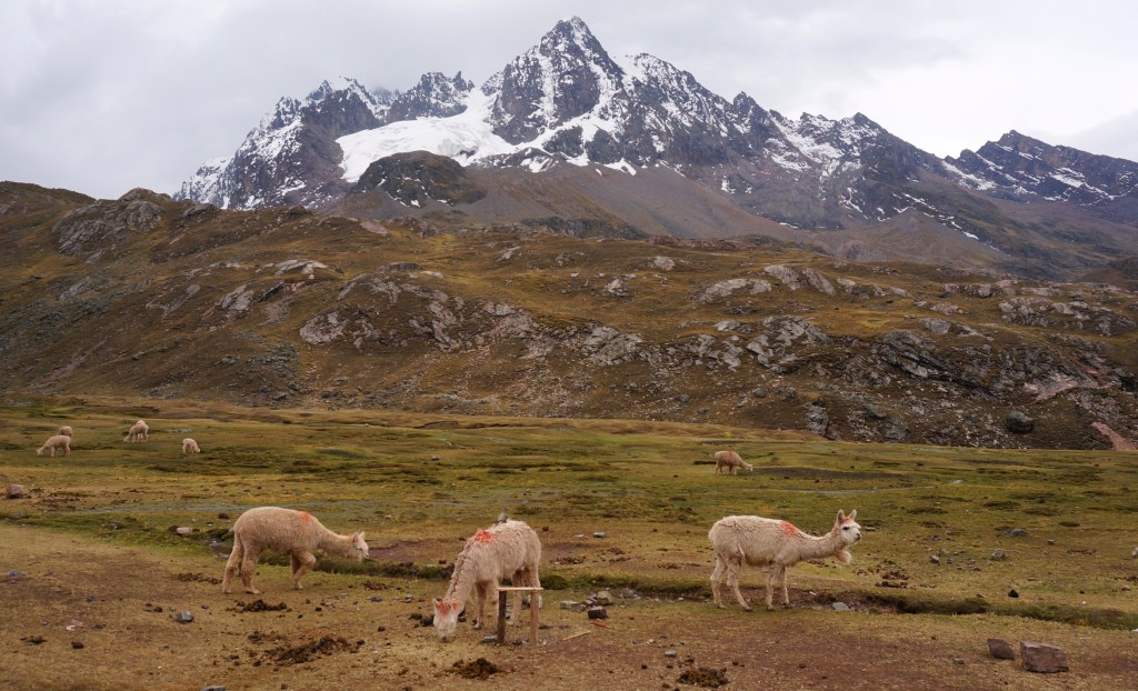 Alpacas and the Andes