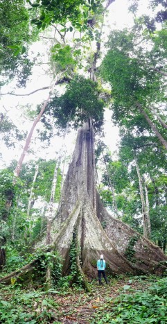 600 yr old tree in the Amazon.
