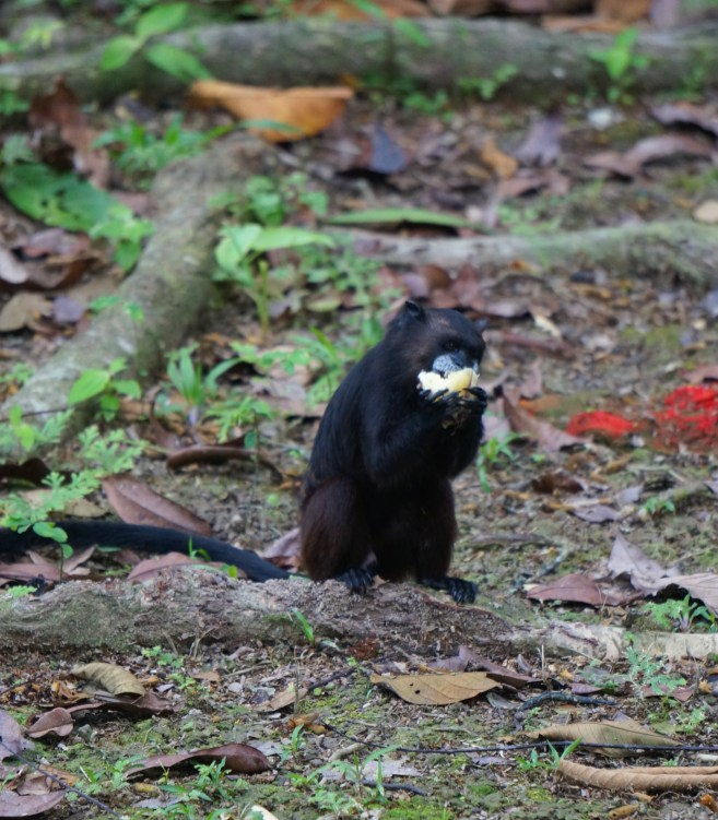 Black Tamarind Monkey