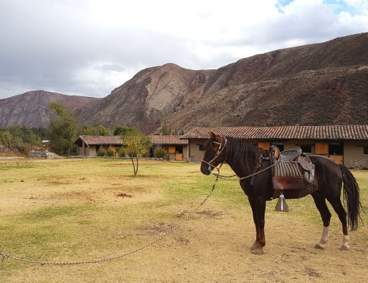 Peruvian Paso standing in the farm yard.