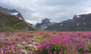 Fireweed in the high alpine.