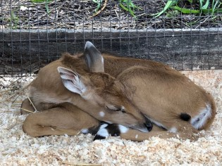 Sleeping baby Nilgai