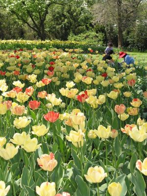 Annual Tulip Dig at Sherwood Gardens