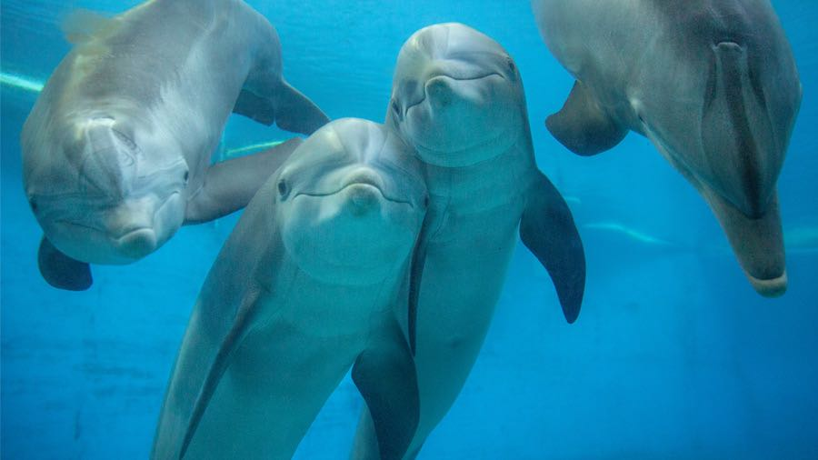 bottlenose dolphins looking at camera underwater