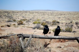 Ravens at Petrified Forest National Park