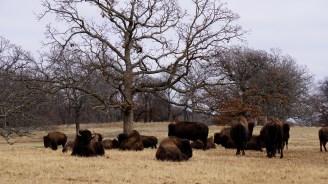 Woolaroc Bison - Oklahoma