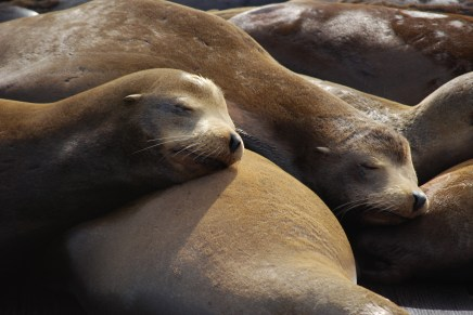 Lounging - Sea Lions at Pier 39 in San Francisco