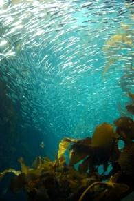 Sardines - Monterey Bay Aquarium