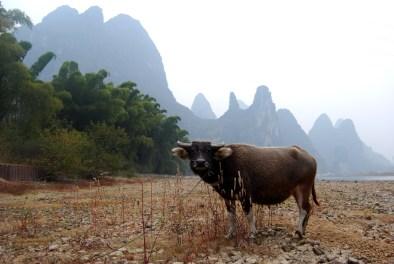 Water Buffalo on the Li River