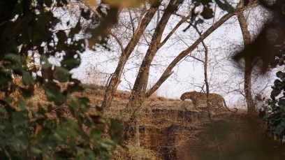 Leopard - Ranthambore National Park, India