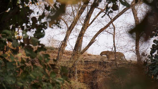Leopard - Ranthambore National Park, India