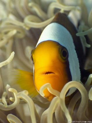 Koh Tao Divers clownfish