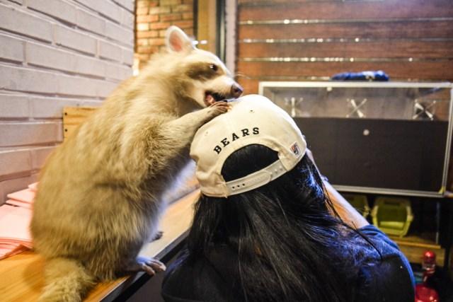Raccoon cafe