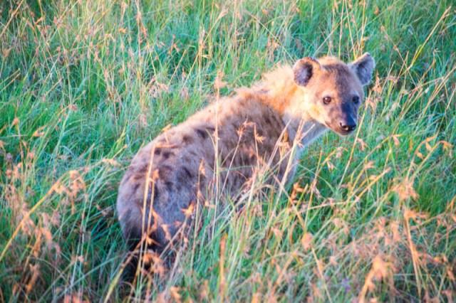 cute hyena