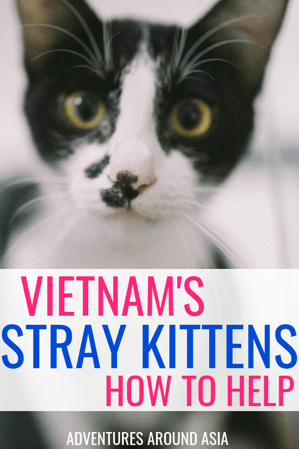 Curious about Vietnams stray cats and cat meat trade? Heres how you can help stray cats and kittens in Vietnam by donating or volunteering in Hoi An! #volunteer #travel #vietnam #Hoian #cats #animals