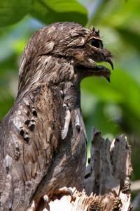 Oddities Potoo Bird