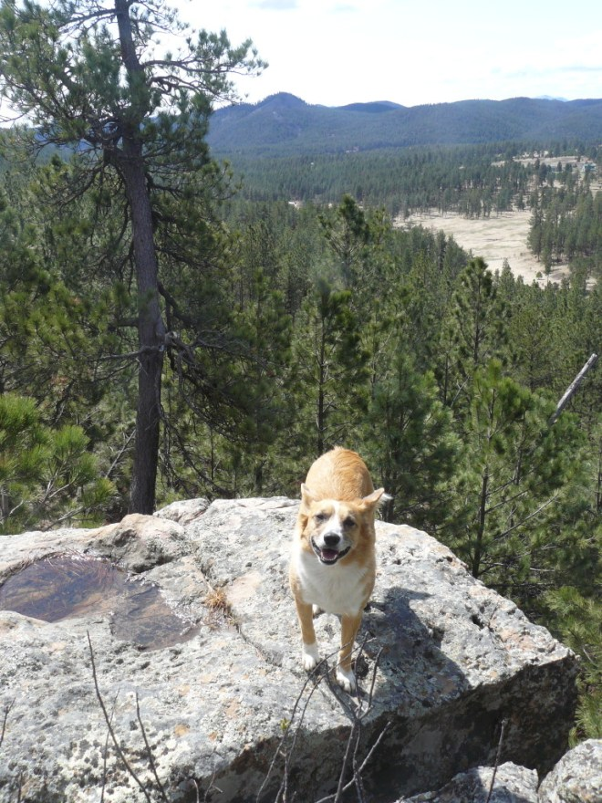 Lupe on the rim rock S of Hat Mountain. Thrall Mountain is the highest point in the distance.