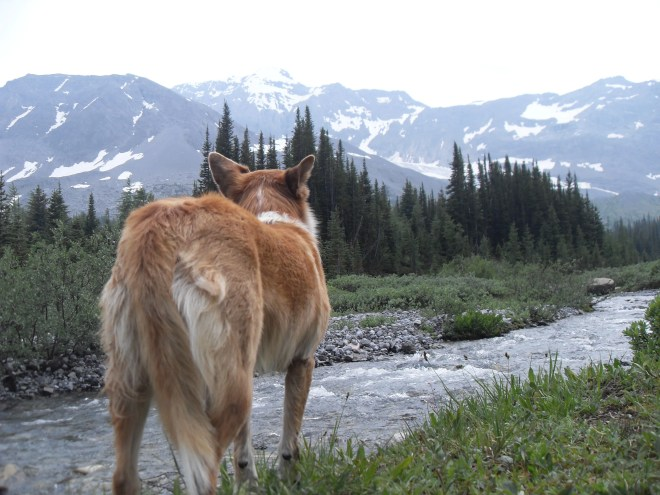 Lupe catches the scent of grizzlies near Maude Brooke and Turbine Campground.