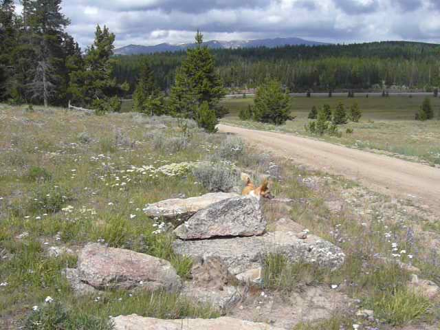 Lupe along road No. 429 on her way to High Park Lookout in the Bighorn Mountains. No. 429 is accessed via Hwy 16 a little over a mile SE of Meadowlark Lake.